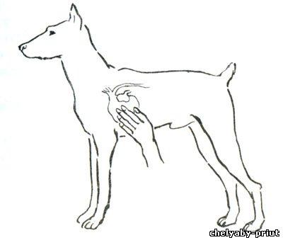 Артерии у собак мелких пород