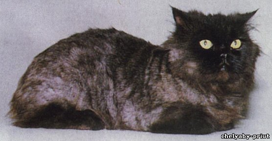 Кошка спустя сорок дней после стрижки