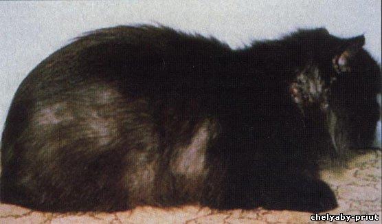 Персидская кошка с обширным поражением стригущим лишаем.