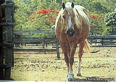 Avstraliya poni
